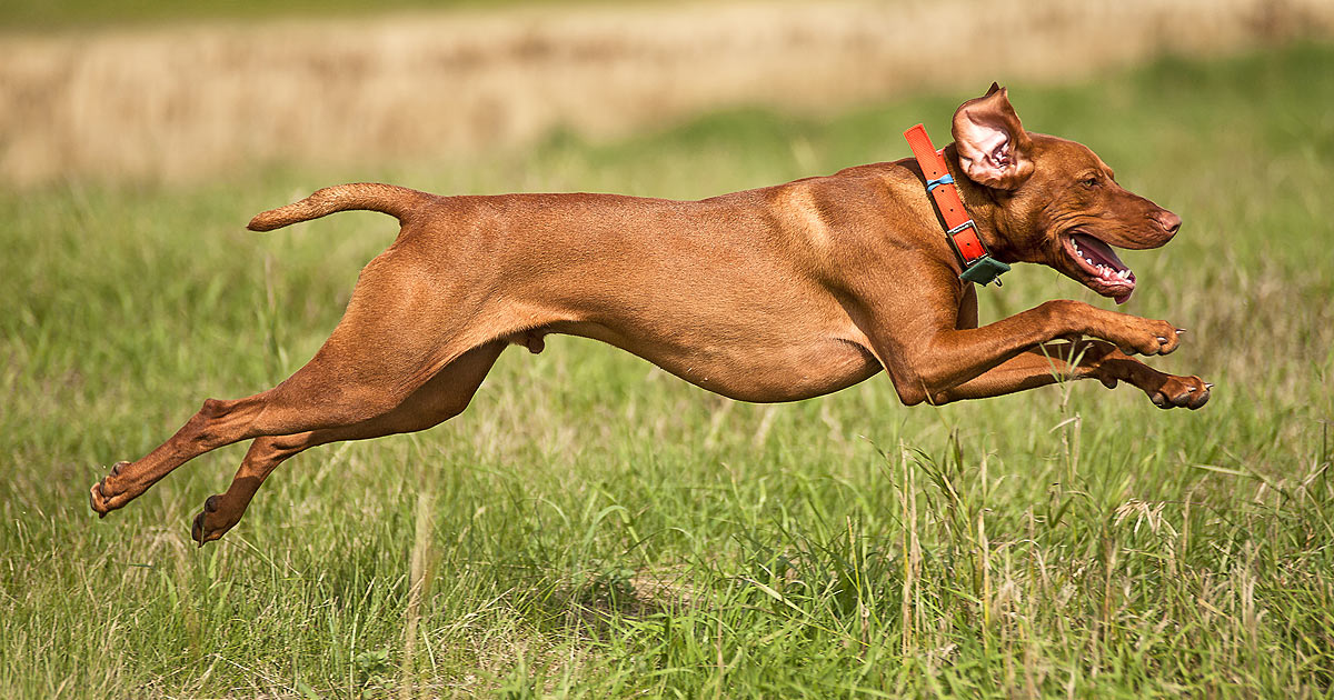 A Vizsla running full out across a field.