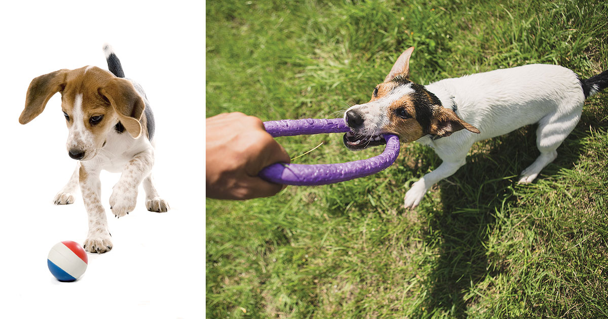 This is a composition of two pictures beside each other. On the left is a beagle puppy nuzzling a rubber ball with his nose. On the right is a jack russell terrier playing tug of war with a man who is mostly off camera. All you can see is his hand holding the other end of the tug toy.