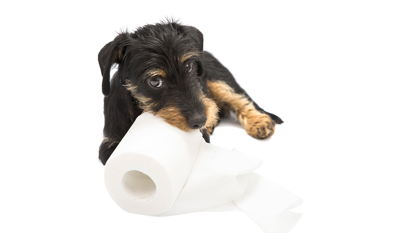 wire haired dachshund puppy lies facing the camera while chewing on a roll of toilet paper