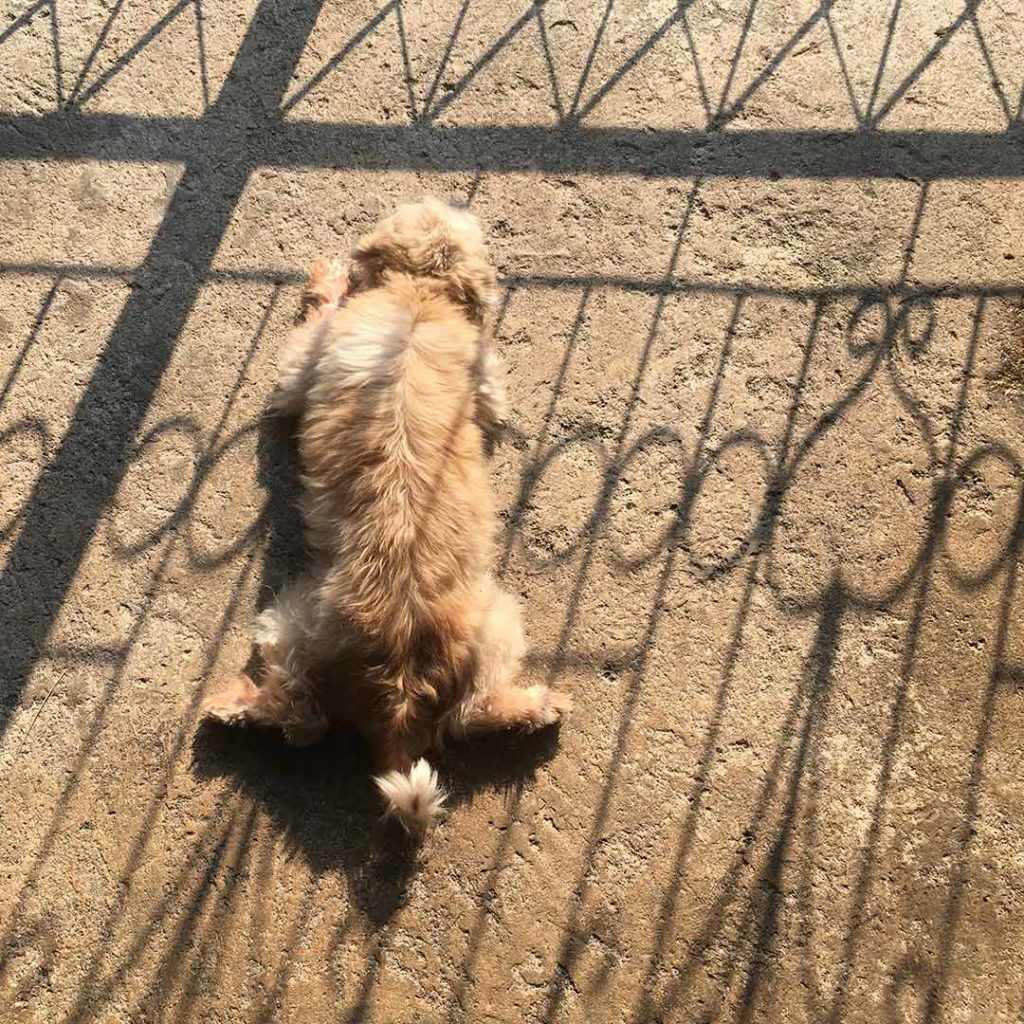 a puppy laying on his belly in the sun with the shadow on a fence on him.