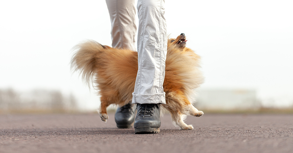 Pomeranian weaves in between lady's legs as she walks toward the camera. Dog is looking up at the woman.